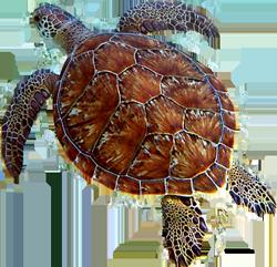 St John sea turtles at Maho Bay Beach