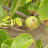 Manchineal Tree